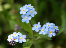 Forget Me Not. Myosotis alpestris - beautiful small blue flowers - forget me not Royalty Free Stock Images