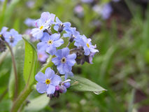 Forget-me-not. Flowering royalty free stock image