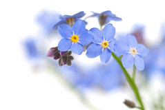 Forget-me-not. Flower close-up on white Royalty Free Stock Image