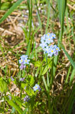 Forget-me-not. Blue flowers in green grass stock image