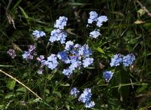 Forget Me Not. Alpine Forget-Me-Not (Myosotis Alpestris), a typical alpine flower Stock Photography