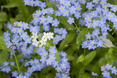 Forget-me-not. A background from many beautiful Myosotis arvensi Stock Photo