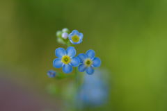 Forget-me-not. Beautiful bright blue forget-me-not close-up Royalty Free Stock Photo