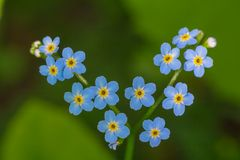 Forget me not bloosoe in the forest.  Stock Images