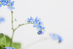 Forget-me-not, blue blossoms Royalty Free Stock Photos