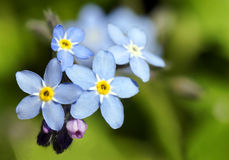 Forget-me-not blue flower. Beautiful and simple Myosotis, forget-me-not, blue and yellow flower: perfect floral background Royalty Free Stock Photography
