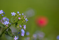 Forget-me-not blue flowers Stock Photo