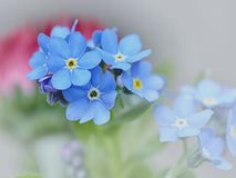 Forget me not Stock Photos