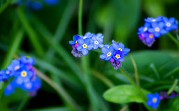 Forget me not. Blue forget me not flowers on a green background Royalty Free Stock Images