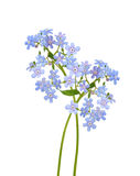 Forget-me-not blue flowers. Royalty Free Stock Photography