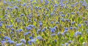 Forget-Me-Not Blue Flowers stock video footage