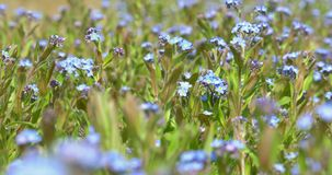 Forget-Me-Not Blue Flowers stock footage