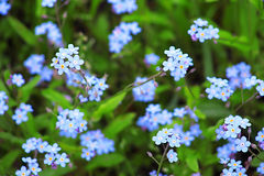 Forget-Me-Not Blue Flowers Stock Image