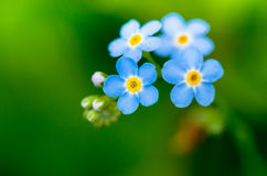 Forget-me-not  blue flowers Stock Images