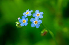 Forget-me-not  blue flowers Royalty Free Stock Photo