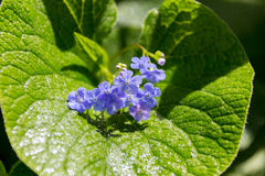 Forget-me-not blue flowers on wet leaf Royalty Free Stock Photos
