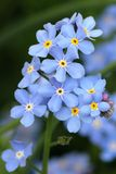 Forget-me-not. Blue flowers with yellow heart Royalty Free Stock Images