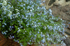 Forget - me - not Stock Photo