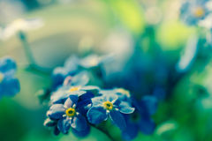 Forget-me-not blue spring small flowers. In bunch Stock Image
