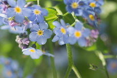 Forget-me-not blue spring small flowers. In bunch Royalty Free Stock Photo