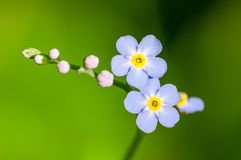 Forget-me-not blue wild flower detail stock photography