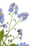 Forget me not border. Forget me not in a corner Stock Photography