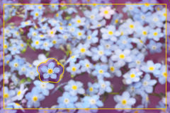 Forget-Me-Not With Border Royalty Free Stock Photography