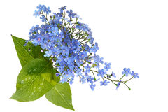 Forget Me Not Bouquet. Bouquet of forget-me-not flower isolated on white background Royalty Free Stock Photo
