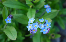 Forget-me-Not. Branch of shallow, bright, blue colors Royalty Free Stock Photography