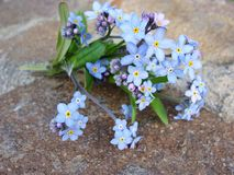 Forget-me-not. A bunch of forget-me-nots on a rock Royalty Free Stock Photos