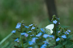 Forget-me-not butterfly Stock Photos
