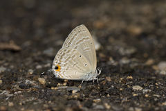 Forget-me-not Butterfly. Feeding mineral on the ground Royalty Free Stock Image