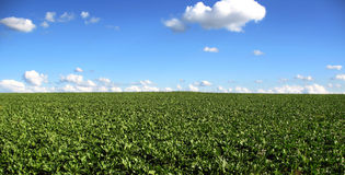Forget me Not Cabbage Field. The most perfect cabbage field in Sembach, Germany!  The sky is a beautiful Forget me Not blue Stock Photography