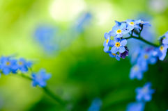 Forget-me-not 2 Royalty Free Stock Photography