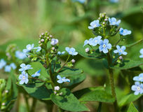 Forget-me-not close up Royalty Free Stock Photo