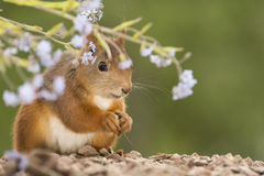 Forget Me Not. Close up of  red squirrel standing under Forget Me Not flowers Royalty Free Stock Images