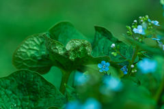 Forget-me-not closeup Royalty Free Stock Photo