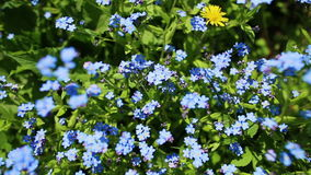 Forget-me-not closeup