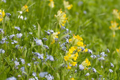 Forget-me-not and Cowslip Stock Image