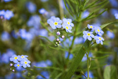 Forget-me-not Royalty Free Stock Image