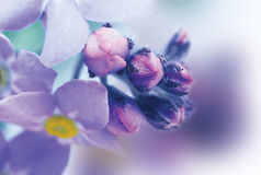 Forget me not Stock Images