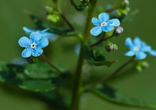 Forget-me-not dew Stock Images