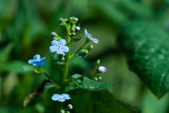 Forget-me-not dew closeup Royalty Free Stock Images