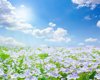 Free Forget-me-not Field Stock Photography - 22790322