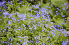 Forget me not. Field with this flowers Royalty Free Stock Photography