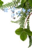 Forget-me-not (floral ornament royalty free stock photography
