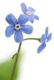Forget-me-not flower. Close-up on white Royalty Free Stock Photo