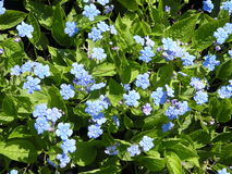 Forget-me-not flower Royalty Free Stock Photography