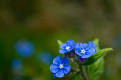 Forget-me-not flower Royalty Free Stock Images