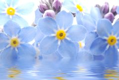 Forget me not flower. Close-up of blue Forget me not flower reflected in water Stock Photos